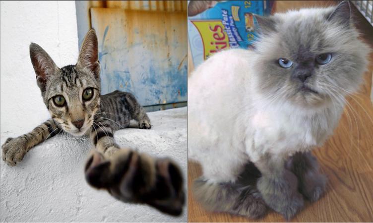 Улична или породиста котка
