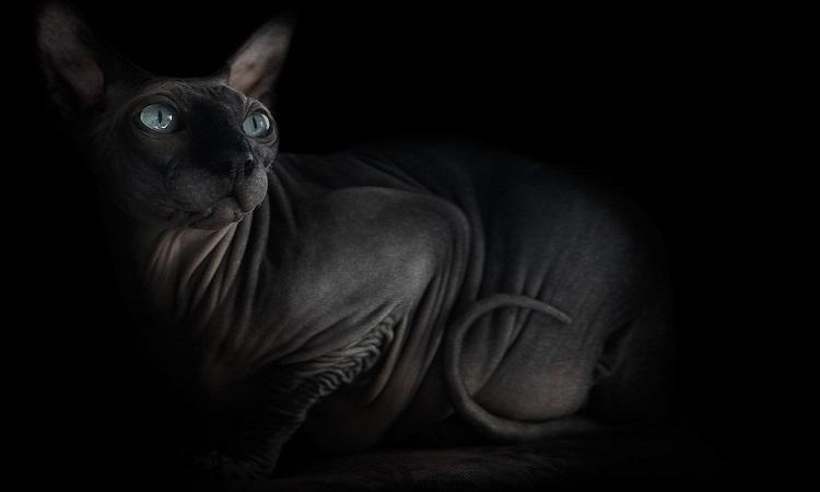 """Уникална фотография на котки """"Сфинкс"""""""