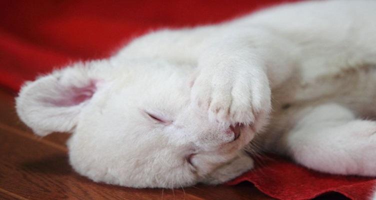 Уникално черно тигърче и три бели лъвчета се родиха в Китай