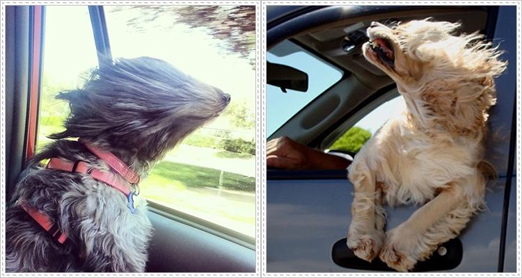 Кучета обичат пътуването с кола повече от всичко