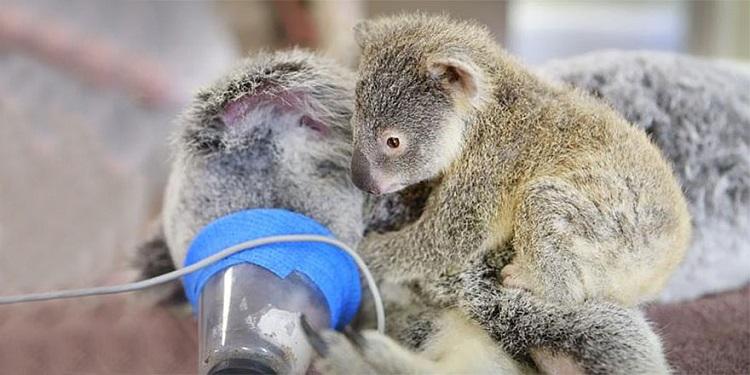 Бебе-коала не се отделя от майка си по време на живото-спасяваща операция