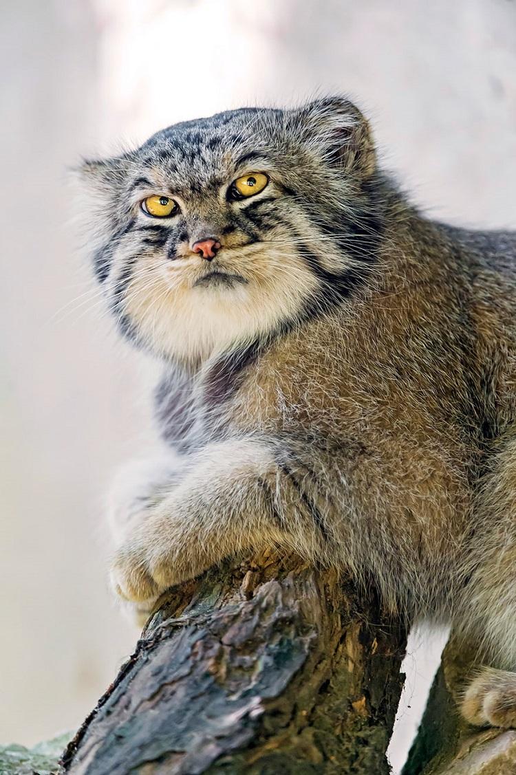 Рядък вид котки - дива руска котка - Манул