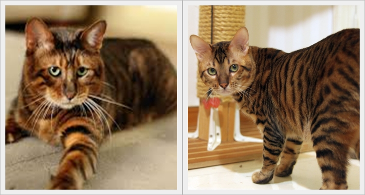 Тойгър - една от най-скъпите породи котки