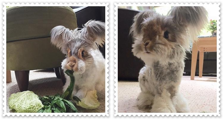 Ангорският дългоух заек - Уоли